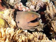 Riesiger Moray-Aal, der aus die Korallen herauskommt Lizenzfreies Stockfoto