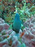 Riesiger Moray, der unter Korallenriff auf sich versteckt Lizenzfreie Stockfotos