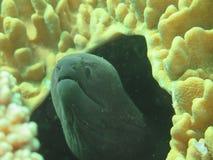 Riesiger Moray, der unter Korallenriff auf sich versteckt Stockbild