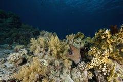 Riesiger Moray (gymnothorax javanicus) stockfotos