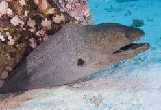 Riesiger Morayaal auf einem Korallenriff Lizenzfreie Stockfotos