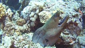 Riesiger Morayaal im tropischen Meer auf Korallenriff stock footage
