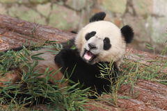 panda essen stockfotos 1 799 panda essen stockbilder stockfotografie bilder dreamstime. Black Bedroom Furniture Sets. Home Design Ideas