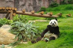 Riesiger Panda Stockfotos