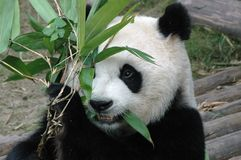 Riesiger Panda Lizenzfreie Stockfotografie