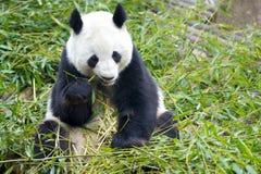 Riesiger Panda Lizenzfreies Stockfoto
