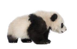 Riesiger Panda (6 Monate) - Ailuropoda melanoleuca lizenzfreies stockfoto