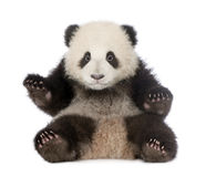 Riesiger Panda (6 Monate) - Ailuropoda melanoleuca Stockbild