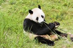 Großer Panda lizenzfreie stockfotos