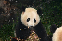 Riesiger Panda, der Bambus isst Stockfoto