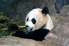 Riesiger Panda, der Bambus isst Stockfotos