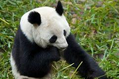 Riesiger Panda, der Nahrung isst Stockbilder