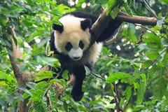 Riesiger Panda im Baum stockbild