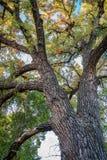 Riesiger Pappelbaum mit Herbstlaub Stockbild