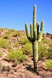 Riesiger Saguaro Lizenzfreies Stockfoto