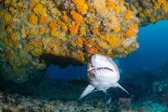Riesiger sandtiger Haifisch stockfoto