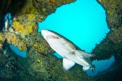 Riesiger sandtiger Haifisch stockfotos