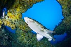 Riesiger sandtiger Haifisch stockfotografie