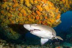 Riesiger sandtiger Haifisch lizenzfreie stockfotografie