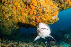 Riesiger sandtiger Haifisch lizenzfreie stockfotos