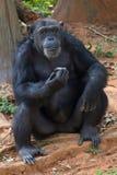 Riesiger Schimpanseaffe Lizenzfreie Stockfotos