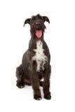 Riesiger schwarzer Schnauzer-Hund Stockfoto