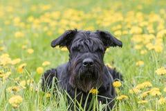 Riesiger schwarzer Schnauzer-Hund, der an der Löwenzahnwiese liegt Lizenzfreie Stockbilder