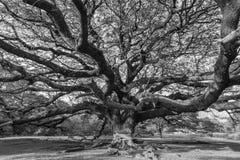 Riesiger Schwarzweiss-Baum Stockfoto