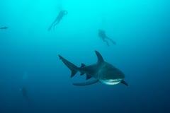 Riesiger Stierhaifisch stockbilder