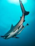 Riesiger Stierhaifisch lizenzfreies stockfoto