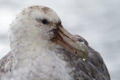 Riesiger Sturmvogel, der Geier von Antarktik Stockfotos