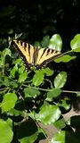 Riesiger Tiger Swallowtail Butterfly auf grüner Blatt-hoher Auflösung stockbild
