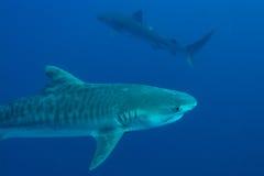 Riesiger Tigerhai lizenzfreies stockfoto