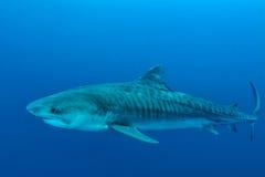 Riesiger Tigerhai lizenzfreies stockbild