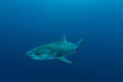 Riesiger Tigerhai stockfotografie