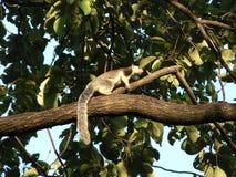 Riesiges Eichhörnchen Stockfoto