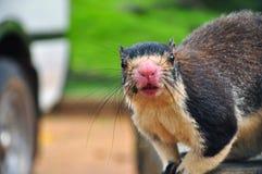 Riesiges Eichhörnchen Stockbilder