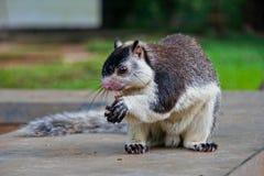 Riesiges Eichhörnchen in Sri Lanka eine Nuss essend stockbilder