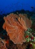 Riesiges gorgonia innerhalb des korallenroten Gartens im Haifischriff stockbild
