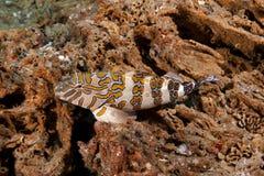 Riesiges Hawkfish (Cirrhitus rivulatus) lizenzfreie stockfotos