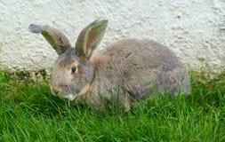 Riesiges hellfarbiges Kaninchen auf Gras gegen eine Wand Stockbild