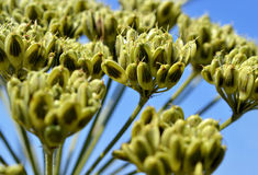 Riesiges Hogweed. Lizenzfreie Stockfotos