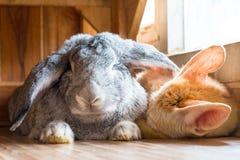 Riesiges Kaninchen, Fennek im Ostern-Tagesisolat auf Hintergrund Stockfoto