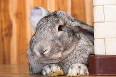 Riesiges Kaninchen im Ostern-Tagesisolat auf Hintergrund Lizenzfreies Stockbild