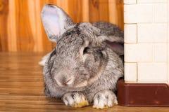 Riesiges Kaninchen im Ostern-Tagesisolat auf Hintergrund Stockbilder