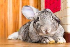 Riesiges Kaninchen im Ostern-Tagesisolat auf Hintergrund Lizenzfreie Stockfotografie