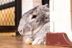 Riesiges Kaninchen im Ostern-Tagesisolat auf Hintergrund Lizenzfreies Stockfoto