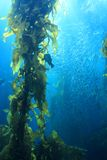 Riesiges Kelp stockbild