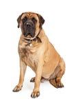 Riesiges Mastiff-Hundesitzen Lizenzfreie Stockfotografie