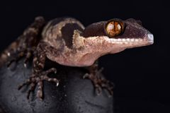 Riesiges mit einem Band versehener Gecko Papuas Cyrtodactylus-louisiadensis stockbilder